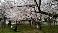広瀬公園満開