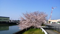 和田川沿い桜満開