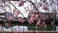 和歌川枝垂れ桜満開