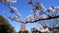 和歌山城公園桜まだ満開