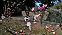 ピンクの花の梅の花