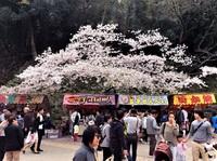 和歌山城満開大にぎわい