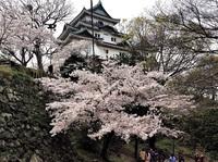 和歌山城桜満開動画
