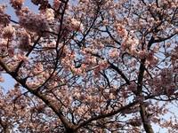 桜はもうすぐ
