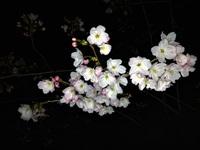 広瀬、大新公園も開花