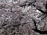 桜満開のところは満開