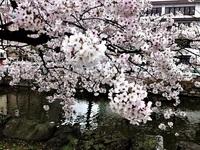和歌山城桜満開