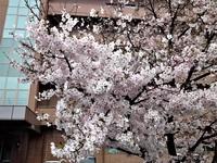 桜散り始める