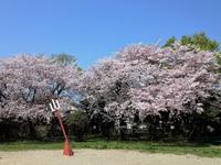 青空戻るが桜は散る