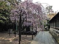 伏見の桜は