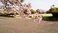 散りだした桜