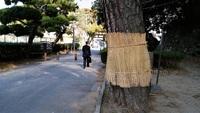和歌山城松の菰巻き
