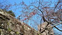 和城枝垂れ桜開花