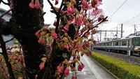 陽光桜開花