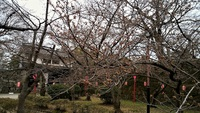 和歌山桜はまだ