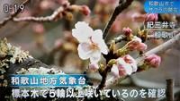 和歌山近畿で一番桜の開花宣言
