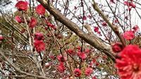 和歌山城の梅開花