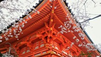 紀三井寺の桜は満開 2018/03/28 16:12:48