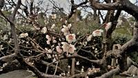 50年ものの梅の木