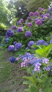 和歌山城・紫陽花