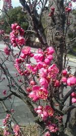 マツ・梅の花