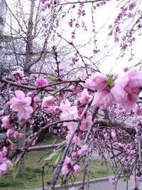 新南公園の桜