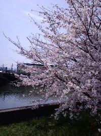 桜満開誰もいない穴場