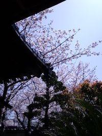 お寺の桜は満開でした