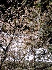 和歌山城夜桜