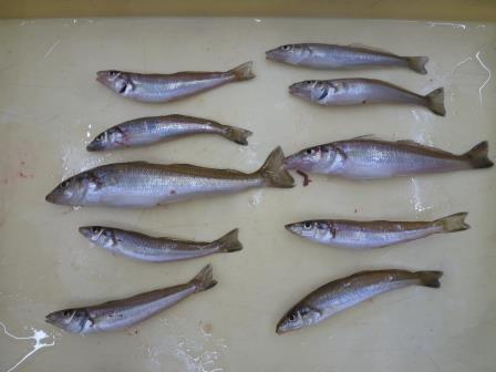 【和歌山市釣果情報】キス釣り