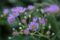 満開の紫苑