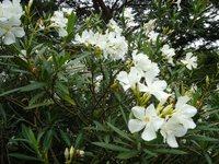 ゴルフ場の夾竹桃の花
