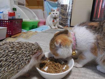 ハリネズミ 猫 あられちゃん&みんちゃん