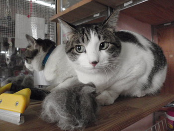 猫ブラシ 一時預かり アールちゃん