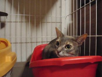 猫 ホテル 海ちゃん&茶~ アビシニアン