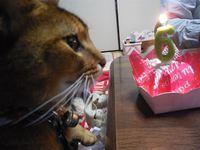 猫 みーこ 節分&お誕生日