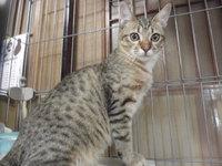 猫 みーこ 10周年記念イベント中 里親募集