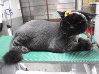 猫 美容 ライオンカット ジル君