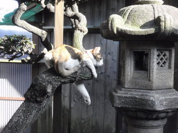 猫カフェ みーこ 大ちゃん久しぶり~ アビシニアン