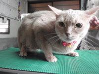 猫 美容 きなこちゃん アビシニアン