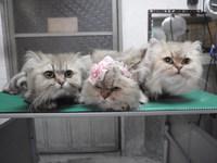 猫 美容 ライオンカット ミーちゃん家族 チンチラ
