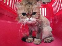 猫 美容 ライオンカット クッキー君 チンチラ