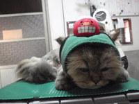猫美容 ノーベル君 チンチラ