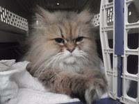 猫ミニ美容 メイちゃん チンチラ
