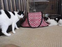 猫 ホテル ひなたちゃん