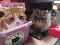 猫 ミニ美容 ちょび君&レオ君 チンチラ スコティッシュ