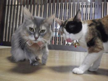 猫みーこの みらちゃん よろしくね 三毛猫