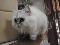猫ホテル ミケ君 チンチラ