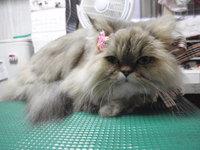 猫 美容 チンチラ ミーちゃん&ソルトちゃん 母娘