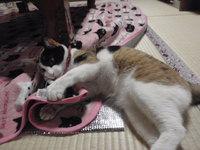 猫 夢空間 気ままなみーこ 三毛猫 みら